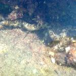 Small Moray Eel in tidal pool