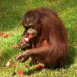 Photo de The Great Orangutan Project