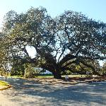 "Largest ""live"" oak tree"