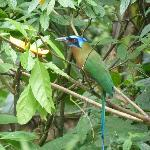 the blue crowned motmot