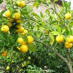 Sóller oranges at the Ca'n Quatre Hotel
