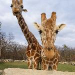  Giraffes!