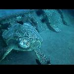 sea turtle hanging out on the wreck