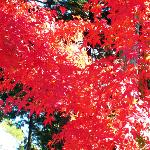 Japanese Maple Ablaze