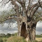 Baobab tree on safari