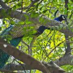  Peacock in the gardens