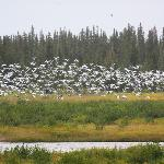  Snow Geese across from the lodge