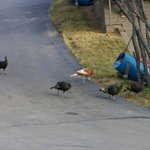  Turkeys crossed the property daily. Check out the light brown one!