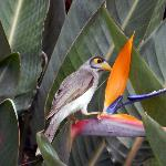 juvenile minor bird in bird of paradise near our room