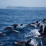 "Common dolphins, ""Delphinus delphis"", and Cape St. Vincent in the background"