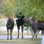 Moose Family in the RV Park
