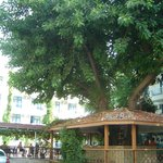 The pool bar built around a giant ficus