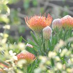 proteas in the small private garden of the flatlet