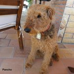 """Pancho"" the Airedale"