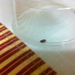  Bed bug found