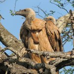  Geier