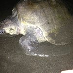  Sea turtle on the beach at night