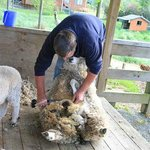 Brent doing his shearing