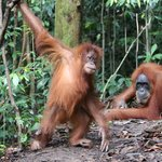 So near with orang utan