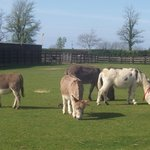  Another group in a field grazing