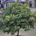Lemon Tree, a sure click when you visit this resort