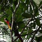 Scarlet Macaw at Ojo del Mar