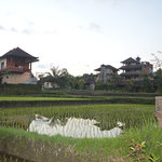 Rice field vie