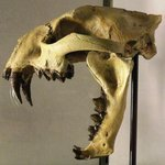 Saber-Toothed Cat: 33 Million Years Old