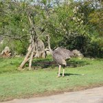 A female Ostrich walking freely in the grounds at Bundu Lodge
