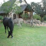  Zebras (&amp; horse) walking freely in the grounds at Bundy Lodge with Chapel in background