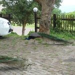  Another photo of the peacocks in the grounds at Bundu Lodge
