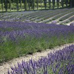Graysmarsh Berry Farm lavender