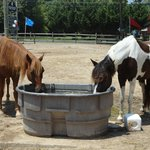 Horses sharing water at the Pony Centre!