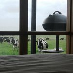 "Cows ""just people watching""!"