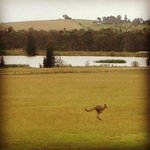  nearby kangaroo