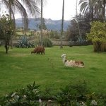 Cute llamas on the property.