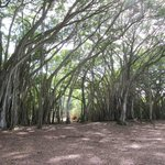 "The ""Lost"" banyan tree"