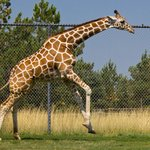 Run giraffe, RUN!