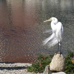 white egret fishing