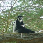 Black and white Colobus monkeys eye off afternoon tea at Elsamere, Naivasha