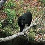 Bear Watching from Country Haven Miramichi