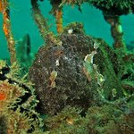 Frog fish