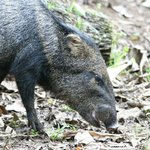  This cute little Peccary came right up to us while we were birding.