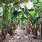 The banana plantations