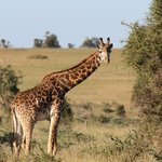 Oops - just stumbled upon another giraffe!