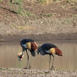 Crowned Cranes on the ranch