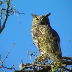  One of the adult Great Horned Owls that nests at the park.