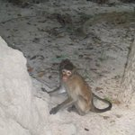  wild monkeys, some attack you