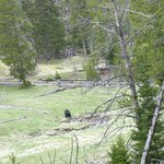 Black bear in Yellowstone but also near Shoshone Lodge!