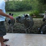 feeding the zebras from the patio, what an experience!